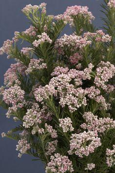 Light Pink Riceflower - Obra Verde Growers 6x8
