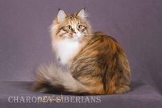 A Brown Torbie Mackeral tabby Siberian cat bred by Charodey Siberians.