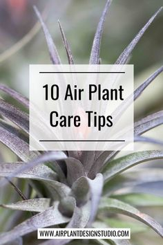 garden care tips Air plants, while considered the perfect plant for gree. garden care tips Types Of Air Plants, Air Plants Care, Plant Care, Garden Cactus, Cactus Plants, Moss Garden, Succulent Planters, Hanging Planters, Succulents Garden