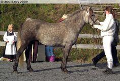 Nordland Horse / Lyngen Horse - mare Elverhøys Furia