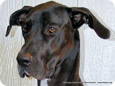 Bethel, OH - Great Dane. Meet Marina, a dog for adoption. http://www.adoptapet.com/pet/10344595-bethel-ohio-great-dane
