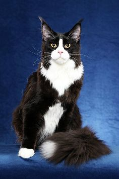 Maine Coon, Black Solid & White (n 09). RW SGC DeCassa Sylvester Stalcoon