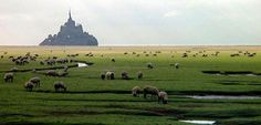 what a great place to be a sheep - at the base of mont saint michel, france!