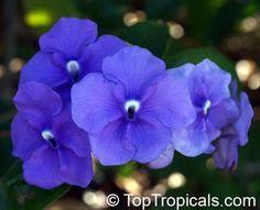 Yesterday Today Tomorrow /  Kiss-Me-Quick / Royal Purple Brunfelsia: Brunfelsia grandiflora [Family: Solanaceae]