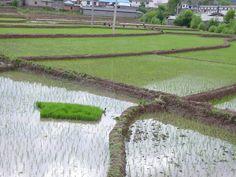 Yunnanin riisipellot