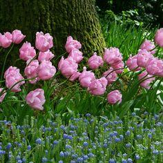 'Pink Diamond' ist wohl die rosaste rosa Blüte in der Blumenwelt. Pflanzzeit ist im Herbst - online bestellbar bei www.fluwel.de