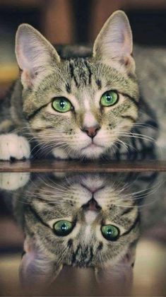 Pretty green eyed tabby cat and reflection - Cats - Katzen Bilder Cute Baby Cats, Cute Cats And Kittens, Cute Baby Animals, Cool Cats, Kittens Cutest, Funny Animals, Tabby Kittens, Funny Cats, Bengal Cats