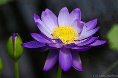 water lily - photo by Lori Hibbert