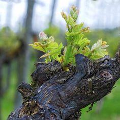 Reflexiones en torno a la viticultura natural y la enología emocional Vides, Vitis Vinifera, Fruit, Natural, Plants, Shrubs, Plant, Nature, Planets