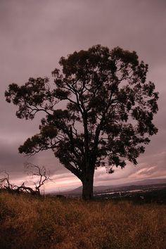 Tree - Canberra Australia