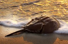 A prehistoric looking horseshoe crab is bathed in the warm light of the morning sunrise on the Chesapeake Bay. Weird Sea Creatures, Prehistoric Creatures, Horseshoe Crab, Leagues Under The Sea, Shorebirds, Beach Walk, Animals Of The World, Photos Of The Week, Science And Nature