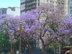 buenos aires flowering trees -