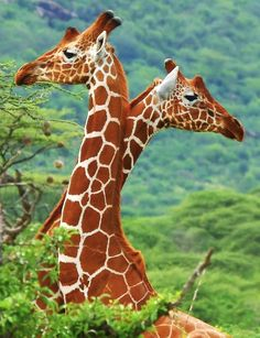 Giraffes, brilliant contrasting color