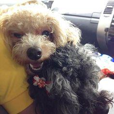 . お出かけ大好き . #愛犬 #トイプードル #プードル #犬 #わんちゃん #わんこ #ふわもこ部 #かわいい #家族 #犬バカ部 #ぬくぬく #いぬのきもち  #toypoodle #instadog #doggy  #dog #instapoodle #poodle #poodles #toypoodlesofinstagram #family #cute #puppy #dogstagram #doglover  #贵宾犬