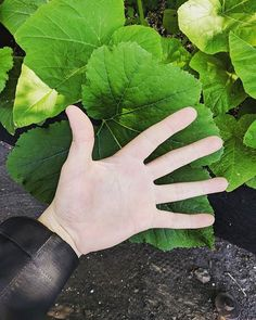 Look at the size of these Squash Leaves! After just one feeding of Geoflora too! We will be posting updates on our filled with for you all to see how it works on . Organic Nutrients, Organic Recipes, Organic Gardening, Squash, Healthy Lifestyle, Flora, Planters, Leaves, Healthy Recipes