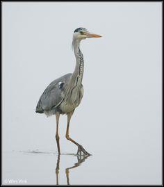 Gepind vanaf vroegevogels.vara.nl - Blauwe Reiger