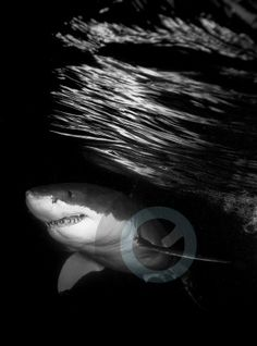 Diving with great white sharks and sea lions in Australia. Copyright Cyber Sea, Inc. You may pin if copyright and links are not removed. Not for commercial or personal use outside of these Pinterest pins without paid license from http://www.HighImpactStockPhotography.com