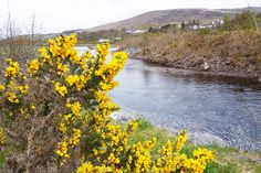 A dull day but there is gold by the river.         5th May 2015