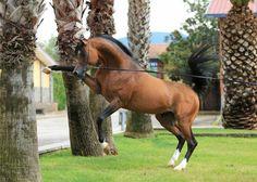 Bay Arabian Stallion