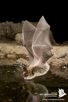 Bat getting a sip of water
