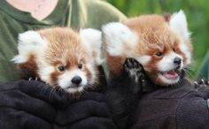 A Red Panda cub appears to give its twin an earful as they make their media debut last week at the Rosamond Gifford Zoo. The cubs were born on June 27, but they've still got a lot of growing to do bef