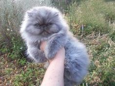blue persian cat kitten