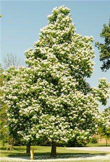 """Catalpa Tree:  Fast growing flowering tree that actually looks nice/ ATTRACTS: Rose Breasted Grossbeak (The most beautiful bird in the United States) """"Catalpa Speciosa"""" best. Very beautiful. Plant alone to show off its beauty.  Can use to make Bouquets.  EXCELLENT For Wildlife Habitats. Will also attract Cardinals and Goldfinchs."""