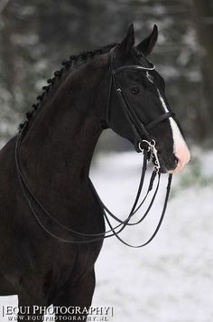 black english bridle winter | cheval noir