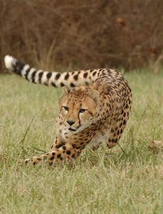 Everything about a cheetah contributes to its superlative running skills.
