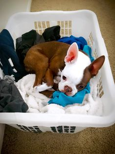 Hazel folding laundry. Boston terrier doing things.
