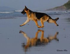 Wicked Training Your German Shepherd Dog Ideas. Mind Blowing Training Your German Shepherd Dog Ideas. German Sheperd Dogs, Shepherd Dog, German Shepherds, Big Dogs, Cute Dogs, Dogs And Puppies, Doggies, Beautiful Dogs, Animals Beautiful