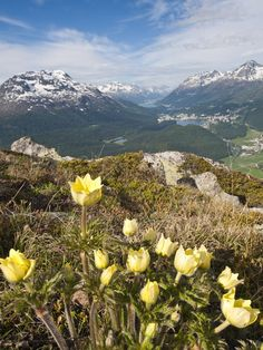 Alpine Flowers and Views of Celerina and St. Moritz From Atop Muottas Muragl Michael De Freitas