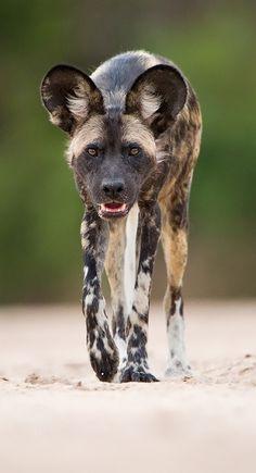 """Painted Wolf Alpha Male"" by Morkel Erasmus (African wild dog)"