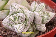 Crassula deceptor succulent