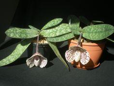 Paph. bellatulum