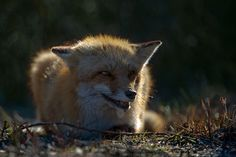 red fox - null