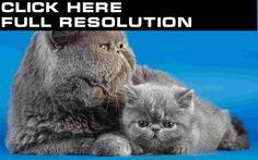 Cats Grey Fluffy Kittens Animals