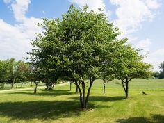Washington Hawthorn Information: Tips For Growing A Washington Hawthorn Tree