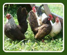 Serama - Yonder Oak Poultry