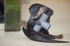 Otter plays with a pipe - January 12, 2013