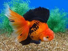 Comet Goldfish, Oranda Goldfish, Goldfish Aquarium, Cute Fish, Beautiful Fish, Aquariums, Carp, Ocean Life, Sea Creatures