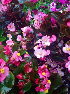 Begonias in the garden.