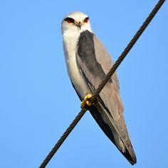 Black-shouldered Kite (Elanus axillaris) or Australian Black-shouldered Kite