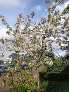 De kersenboom staat dit jaar heel mooi in bloei, dat belooft veel kersen! 2015