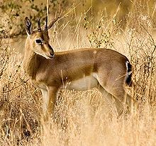 Chinkara, Indian Gazelle. ~50lbs. Shy. Only males have horns, live 12-15yrs.