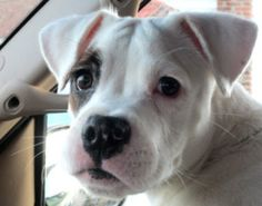 Rascal is an adoptable Boxer Dog in New York, NY. Imagine our surprise to stumble upon this darling cutie patootie White Boxer puppy in the local Animal Control facility! How does an adorable six mont...