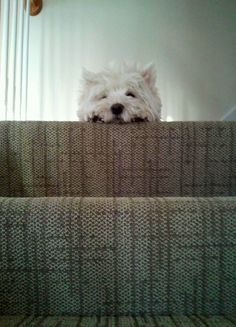 Westies - Calvert would do this all the time!
