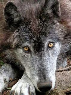 Look at this beautiful wolf's eyes, the windows to the soul. <3