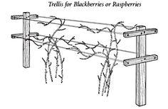 Growing Blackberries and Raspberries (Rubus)