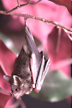 Lovely setting for this sweet leaf nose bat